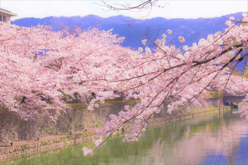 京都 桜 スポット 名所
