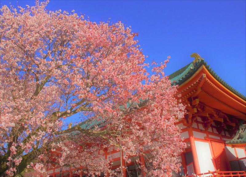 京都 平安神宮 桜 スポット