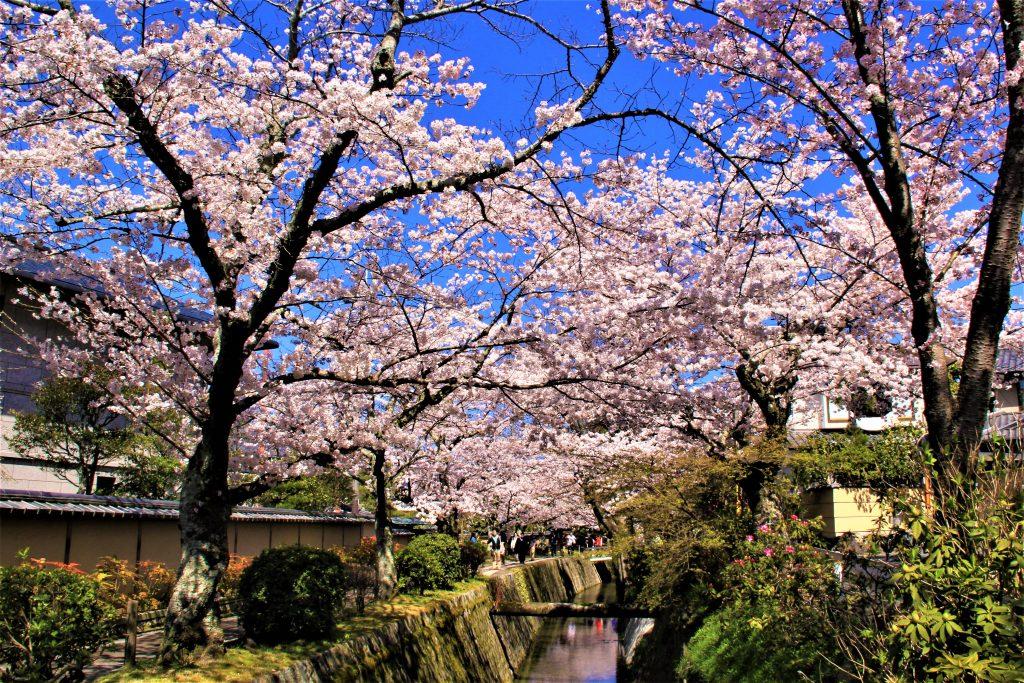 京都 桜 スポット 哲学の道