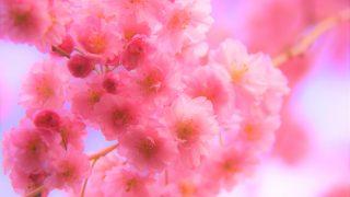 京都の桜はタイ人女性も大好き!満開・見ごろ「桜スポット20選」