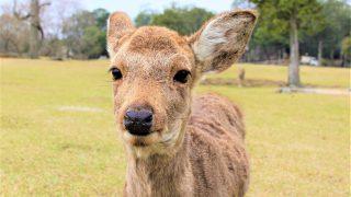 日本、奈良公園の鹿 vs タイ・パタヤのシカ
