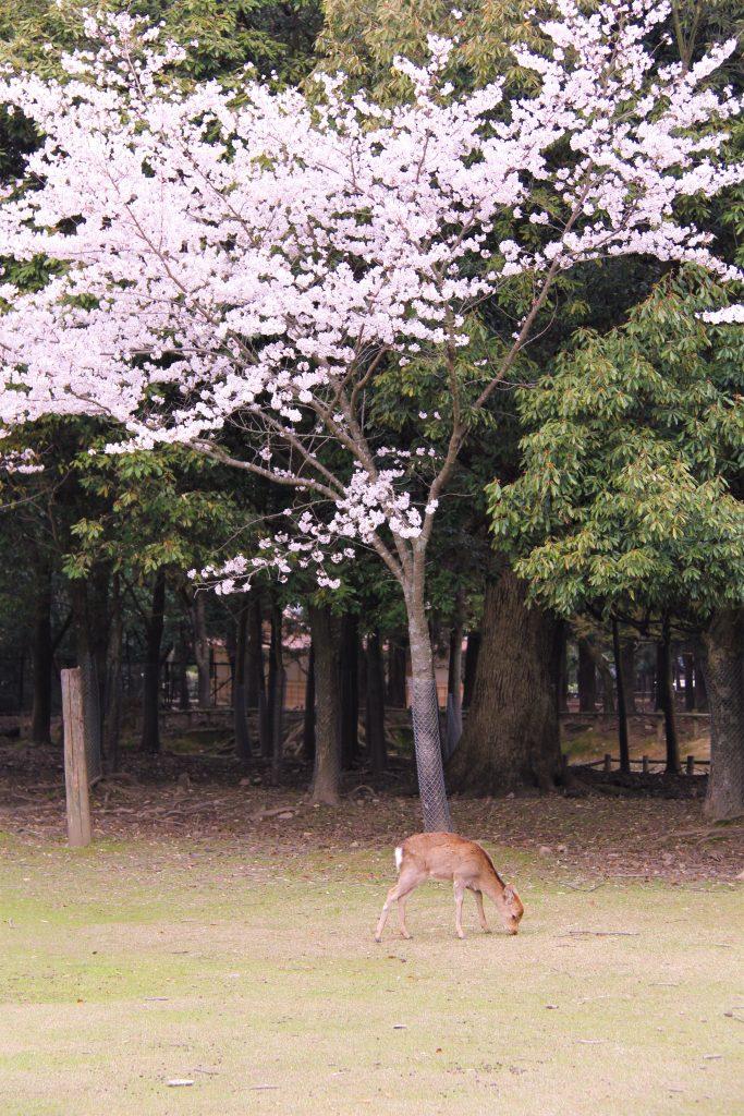 奈良 桜 スポット 名所