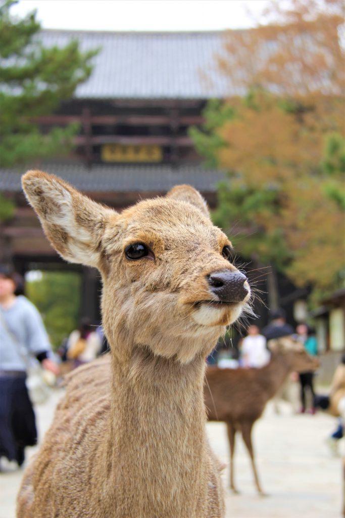 日本 シカ 鹿 桜 タイ